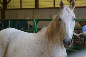 Gracie, our beautiful and willful Lippizan mare!